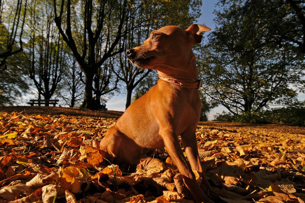 Rehpinscher im Herbst