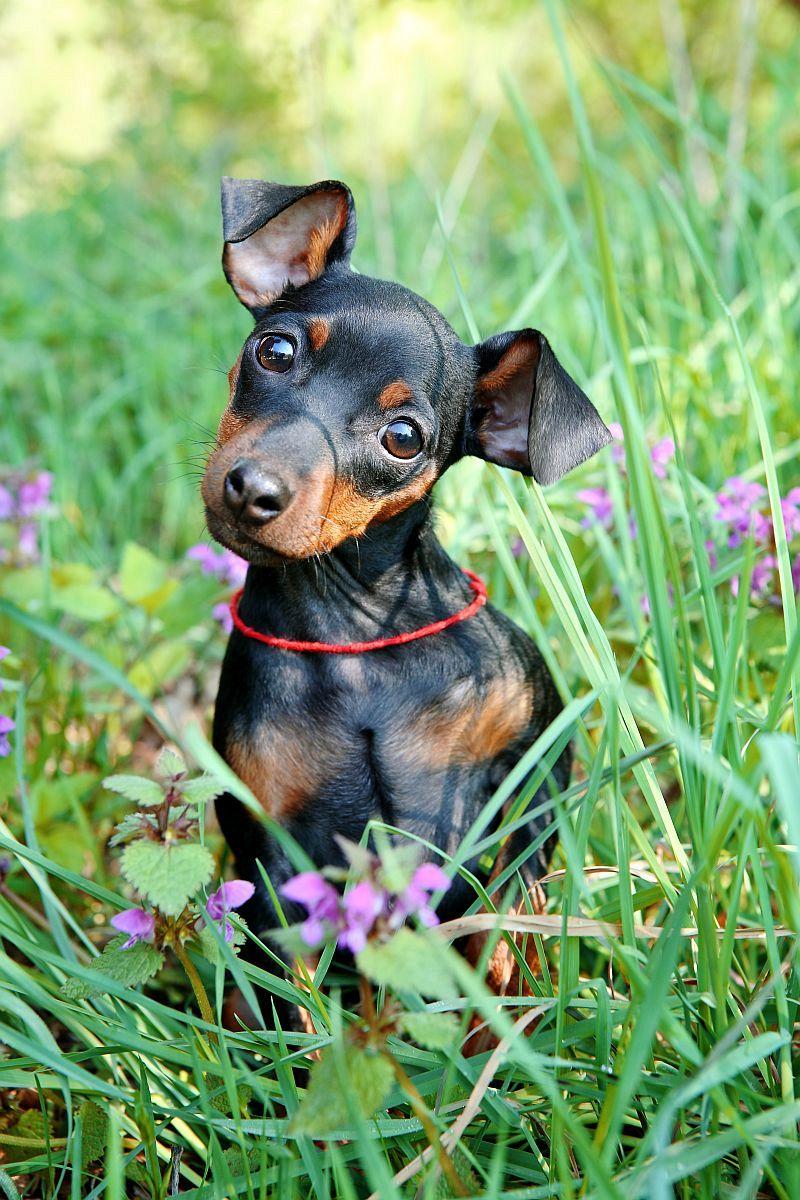 Zwergpinscher im Gras