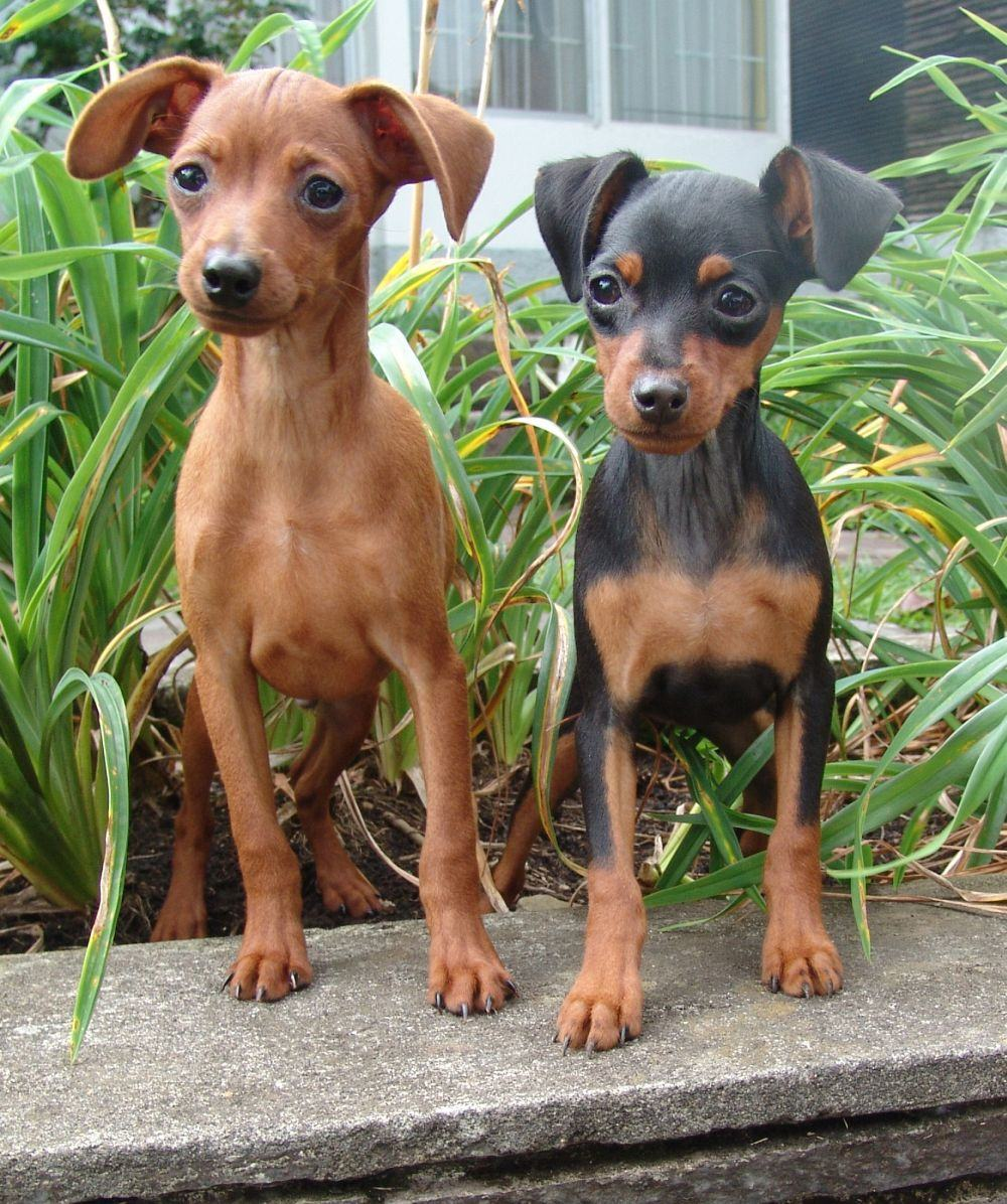 Zwei Zwergpinscher Junghunde