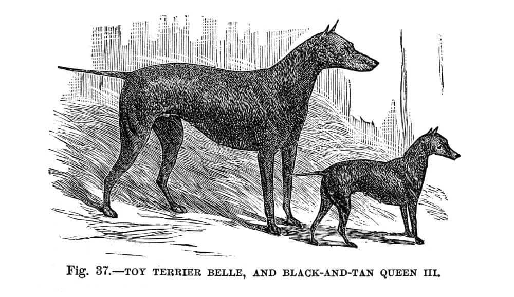 Toy Terrier Belle und Black and Tan Queen II